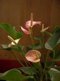 Fleur rose d'andraeanum d'anthure photo libre de droits