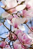 Fleur rose d'arbre de magnolia extérieure au printemps Image libre de droits