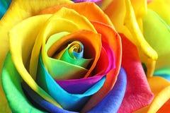 Fleur rose d'arc-en-ciel étonnant Photos stock