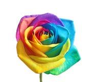 Fleur rose d'arc-en-ciel étonnant Image libre de droits