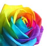 Fleur rose d'arc-en-ciel étonnant Photo stock