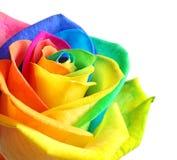 Fleur rose d'arc-en-ciel étonnant Photographie stock libre de droits