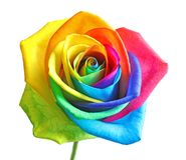 Fleur rose d'arc-en-ciel étonnant Image stock