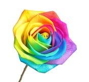 Fleur rose d'arc-en-ciel étonnant Photos libres de droits