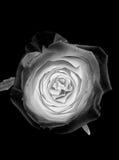 Fleur rose d'argent blanc sur le fond noir Images libres de droits
