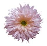 Fleur rose d'aster d'isolement sur le fond blanc avec le chemin de coupure Plan rapproché aucune ombres Image stock