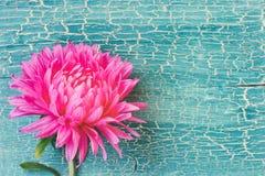 Fleur rose d'aster sur la planche en bois de turquoise images libres de droits