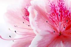 Fleur rose d'azalée images stock