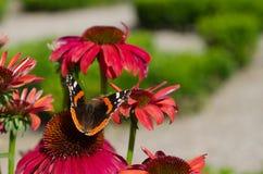 Fleur rose d'echinacea avec le papillon Photographie stock libre de droits
