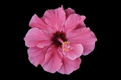 Fleur rose d'Ibiscus Photos stock