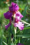 Fleur rose d'iris dans le jardin Image stock