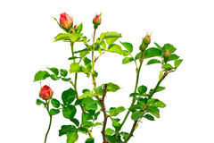 Fleur rose d'isolat sur un fond blanc Photographie stock libre de droits