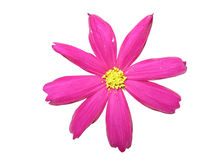 Fleur rose d'isolement photo stock