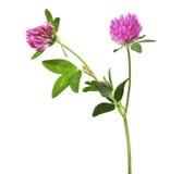 Fleur rose d'isolement de trèfle avec deux fleurs image libre de droits