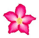 Fleur rose d'isolement sur le blanc Photographie stock libre de droits