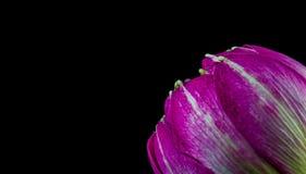 Fleur rose d'isolement sur le fond noir Photographie stock libre de droits