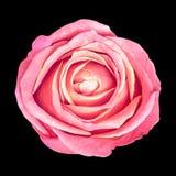 Fleur Rose rose d'isolement sur le fond noir Plan rapproché Élément de conception Images stock