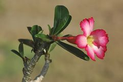 Fleur rose d'obesum d'Adenium ou généralement connu comme le désert s'est levé, ou lis d'impala avec de petites feuilles image libre de droits