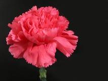 Fleur rose d'oeillet Photographie stock libre de droits
