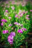 Fleur rose d'oeillet dans le garden3 Image stock