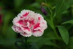 Fleur rose d'oeillet, fond naturel Profondeur de zone photos libres de droits