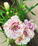 Fleur rose d'oeillet sur un pré vert photo libre de droits