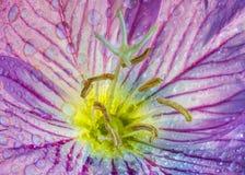 Fleur rose d'oenothère biennale photo libre de droits