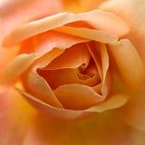 Fleur rose d'orange Image libre de droits