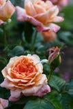 Fleur rose d'orange Photographie stock