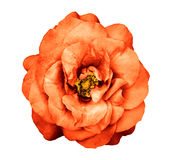 Fleur rose d'orange foncée surréaliste de chrome d'isolement Photo libre de droits