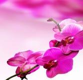 Fleur rose d'orchidée Photo libre de droits
