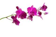 Fleur rose d'orchidée Photos libres de droits