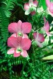 Fleur rose d'orchidée Photos stock