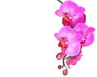 Fleur rose d'orchidée, blanc d'isolement Photographie stock libre de droits