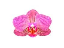 Fleur rose d'orchidée image libre de droits