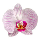 Fleur rose d'orchidée, Phalaenopsis d'Orhideea Photo libre de droits