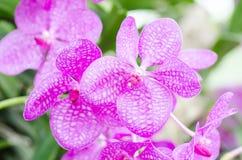 Fleur rose d'orchidées Images libres de droits