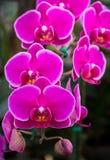 Fleur rose d'orchidée de phalaenopsis Photographie stock