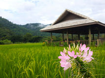 Fleur rose dans le domaine de riz Images stock