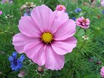 Fleur rose dans le jardin Photo stock
