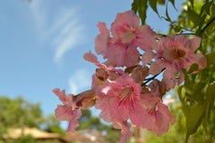 Fleur rose dans Tiradentes, MG - Brésil images stock