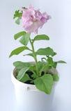 Fleur rose dans un bac Photographie stock