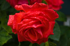 Fleur rose de beau rouge Image libre de droits
