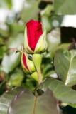 Fleur rose de beau rouge Photo libre de droits