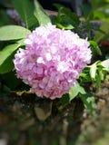 Fleur rose de beauté au parc de nation Image stock