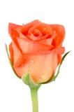Fleur rose de belle orange Image libre de droits