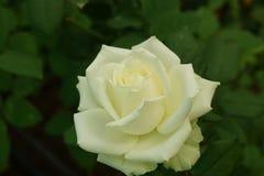 Fleur rose de blanc photographie stock