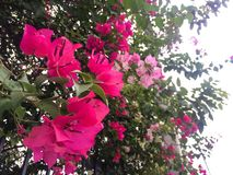 Fleur rose de bouganvillée image libre de droits