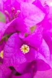 Fleur rose de bouganvillée Photo libre de droits