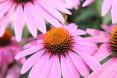 Fleur rose de cône Images libres de droits